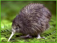 kiwi bird images