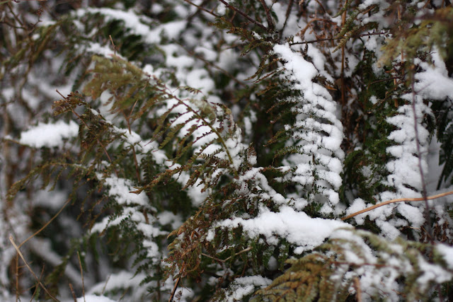 ferns, snow, Ireland