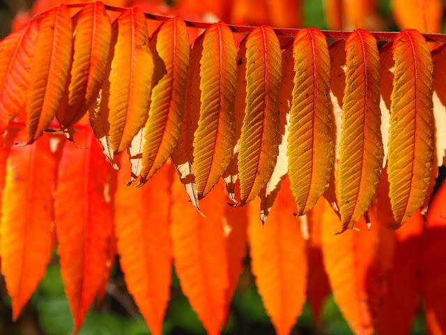 Rhus, Fluweelboom, Herfst