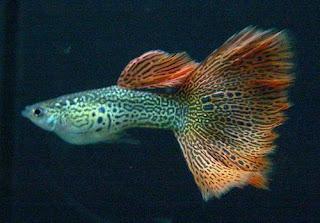 أسماك الطاووس الصينية الرائعة الجمال سبحــــــان الله image01817-744751.jp
