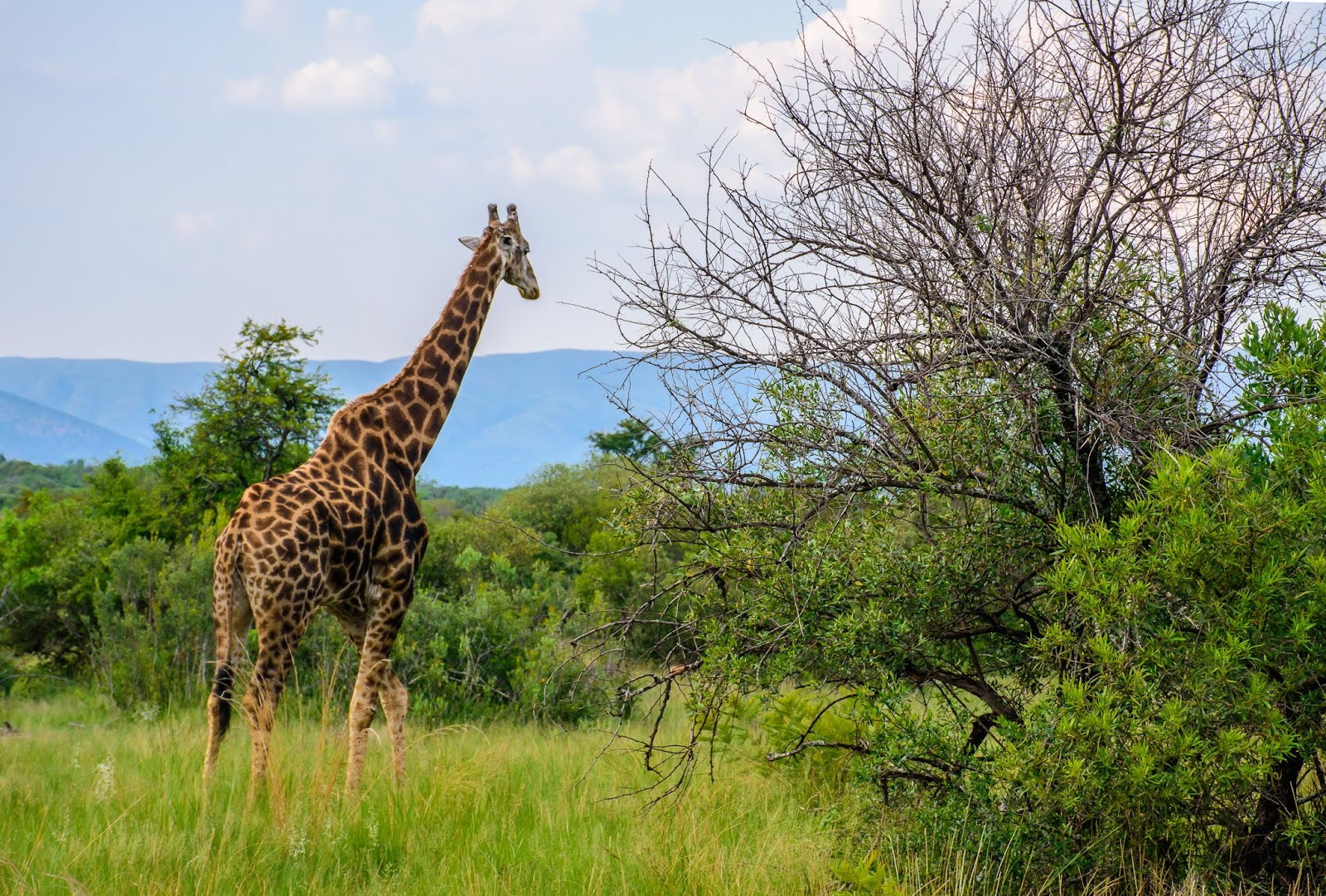 giraffe and big 5 animals in south africa safari the truth behind south africa safari experience