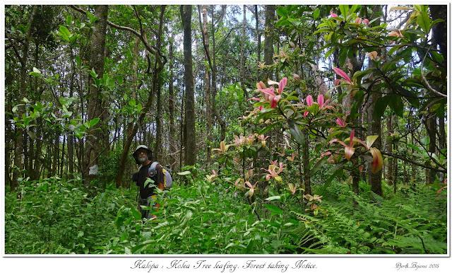 Kalopa: Kolea Tree leafing. Forest taking Notice.