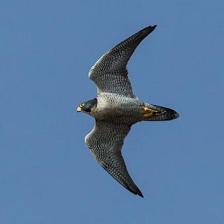 Peregrine falcon (Falco peregrinus) in flight.