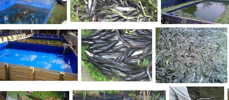 Teknik Cara Budidaya Ikan Gabus di Kolam Terpal Cepat Panen