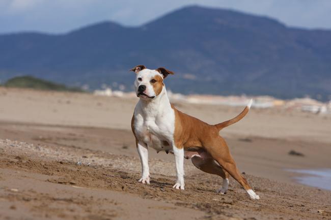 Najbardziej agresywne rasy psów