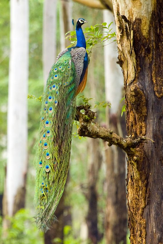 Indian peafowl (Pavo cristatus)   Our World's 10 Beautiful and Colorful Birds