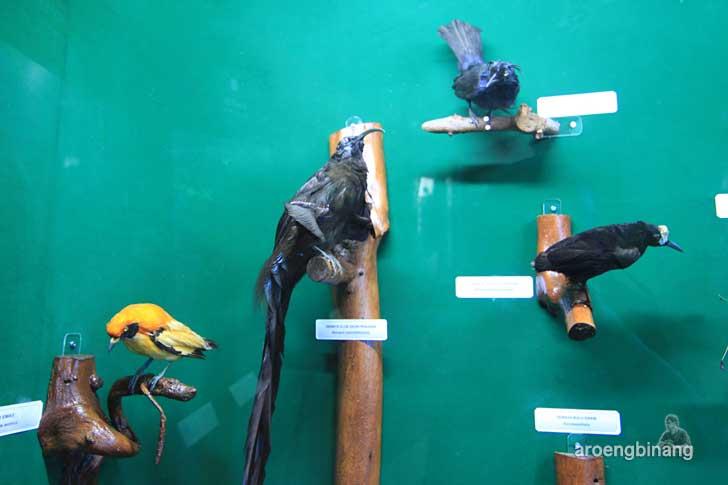 burung dewata elok ekor panjang museum zoologi bogor