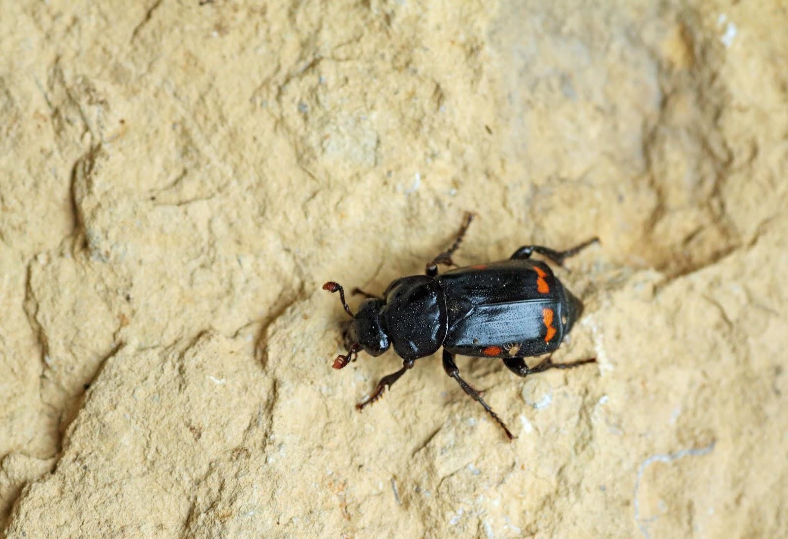 Mobugs Pustulated Carrion Beetle