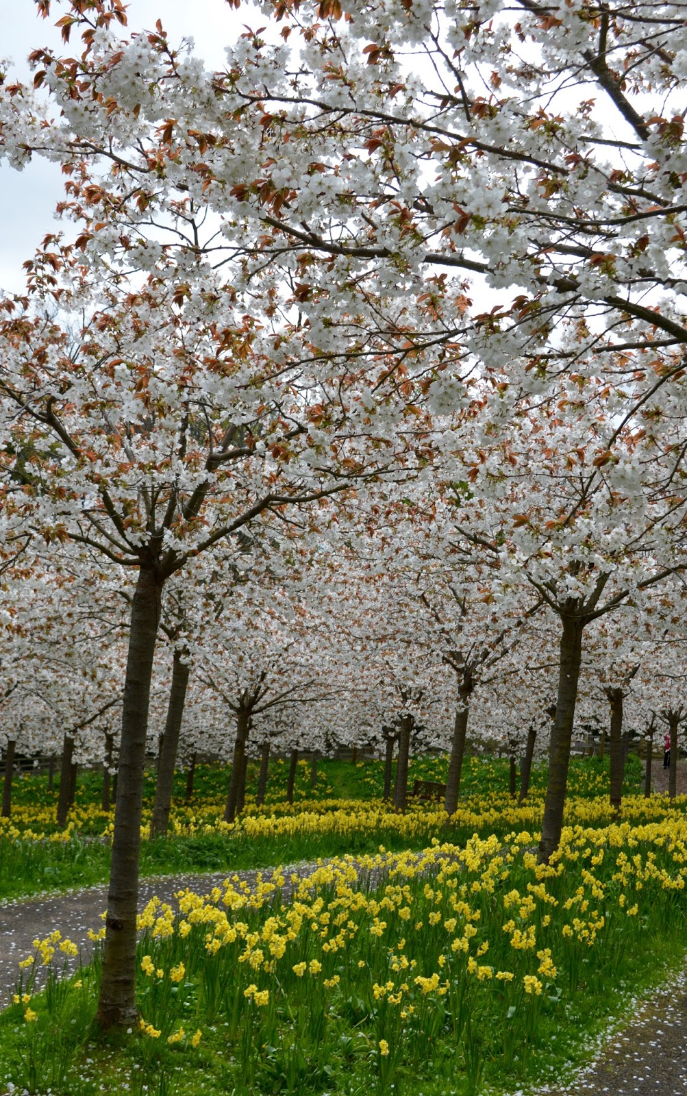 The Cherry Blossom Orchard at The Alnwick Garden  - pathway