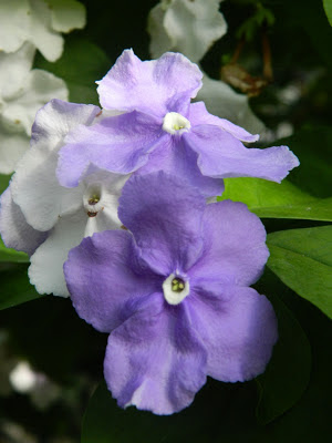 Brunfelsia pauciflora Yesterday-Today-Tomorrow bloom Allan Gardens Conservatory by garden muses: a Toronto gardening blog