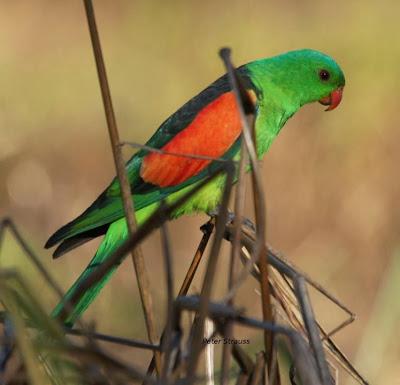 Papagayo ala roja: Aprosmictus erythropterus