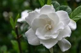 melati gardenia glazerii