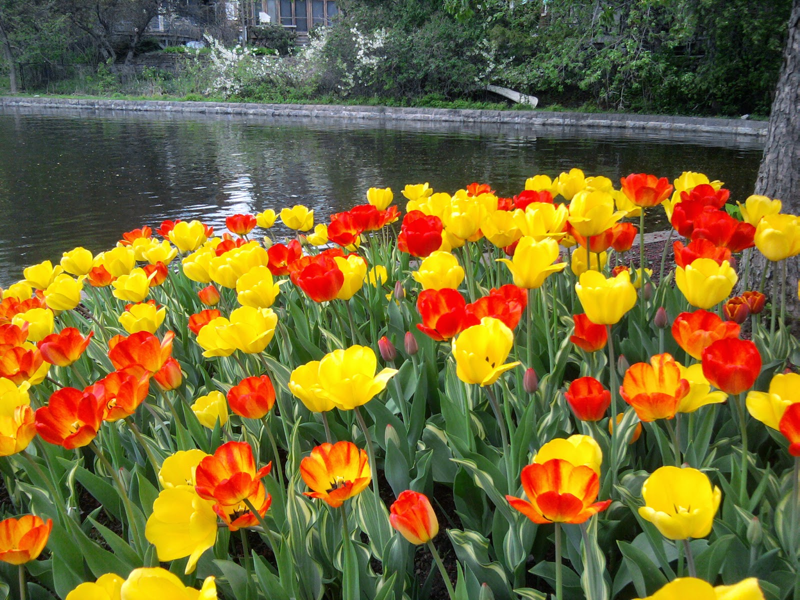 Ottawa Daily Photo Colonel By Among The Tulip Beds