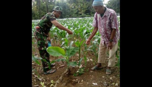Serda. E. Sihombing Bersama Poktan Suka Tani Lakukan Pemupukan Tanaman Jagung di Desa Sampecita