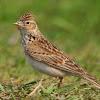 Beberapa Faktor Perawatan Penentu Agar Burung Branjangan Berkicau