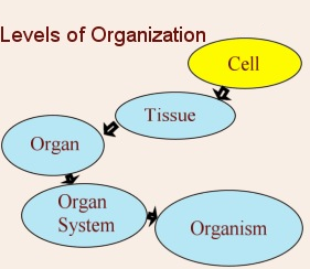 #16: Tissues, Organs and organ Systems | Biology Notes for ...