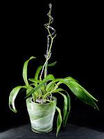 storczyk oncidium pęd kwiatowy