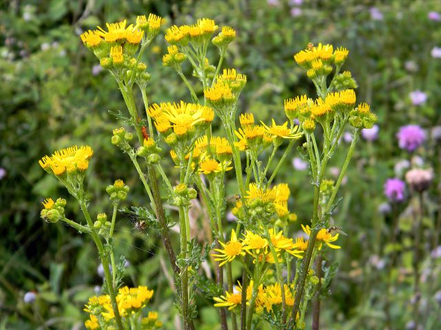 miedza, roślina, kwiat, żółty
