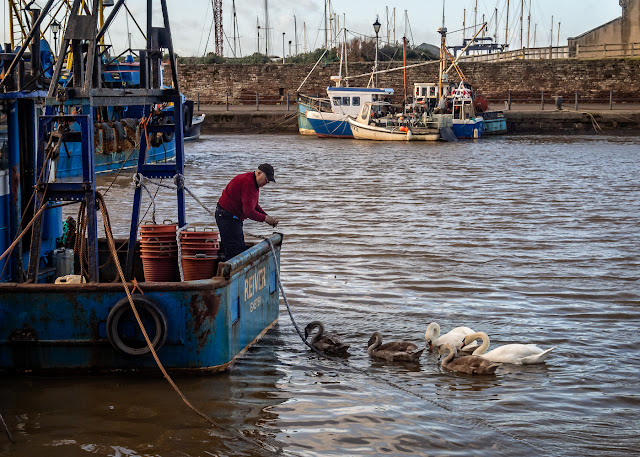 Photo of the swan family being fed in Maryport Harbour on Sunday