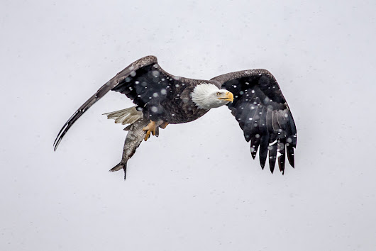 Week 6 - Bald eagles in the snow