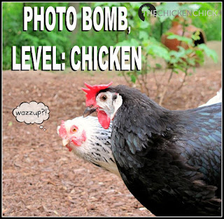 Chicken photo bomb