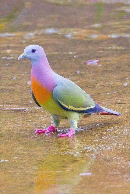 A Rare Pink-Necked Green #Pigeon