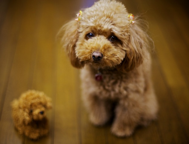 44 Very Cute Poodle Puppy Pictures And Images |Cute Poodle Puppies