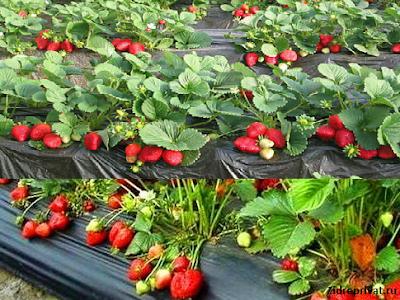 Ремонтантная клубника - правильное выращивание и уход
