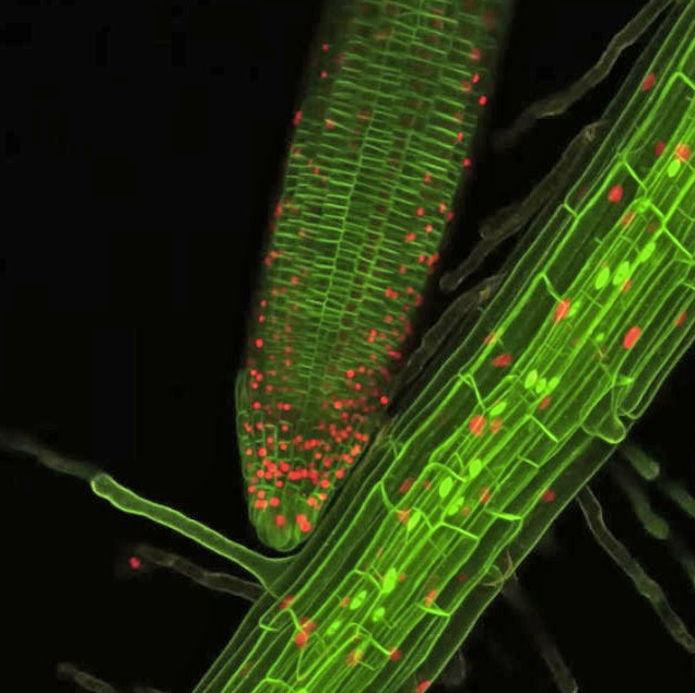 Root Cell Growing Picture You Can Now Watch Plant Roots Grow In Extreme Closeup 3D