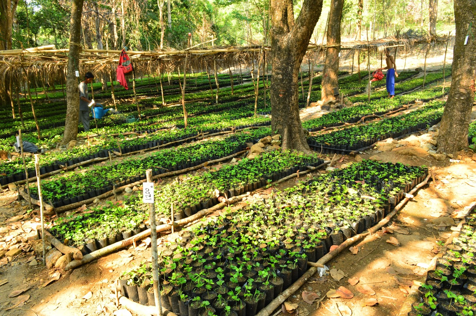 Coffee Seedlings Cabangan Zambales