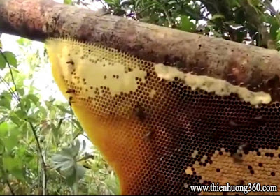 Khai thác mật ong trong rừng