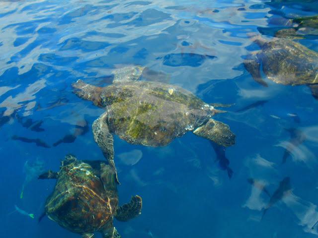 Turtles in Peru