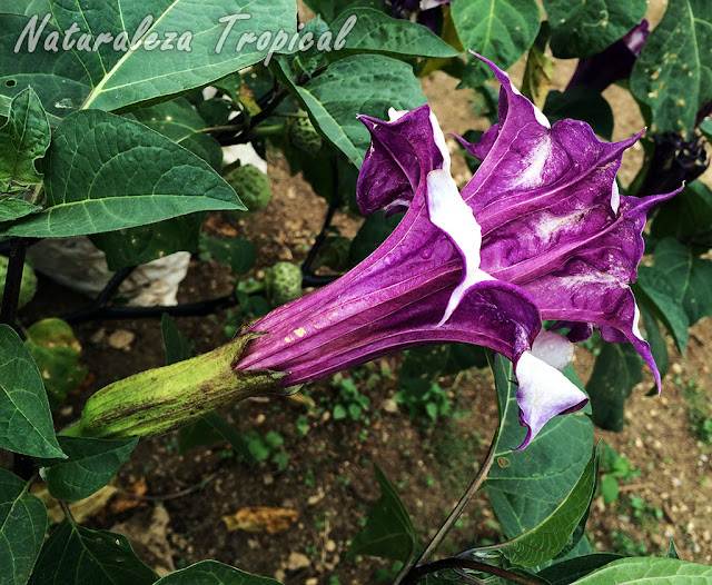 "Flor de la Trompeta del Diablo, Datura metel ""Double purple"""