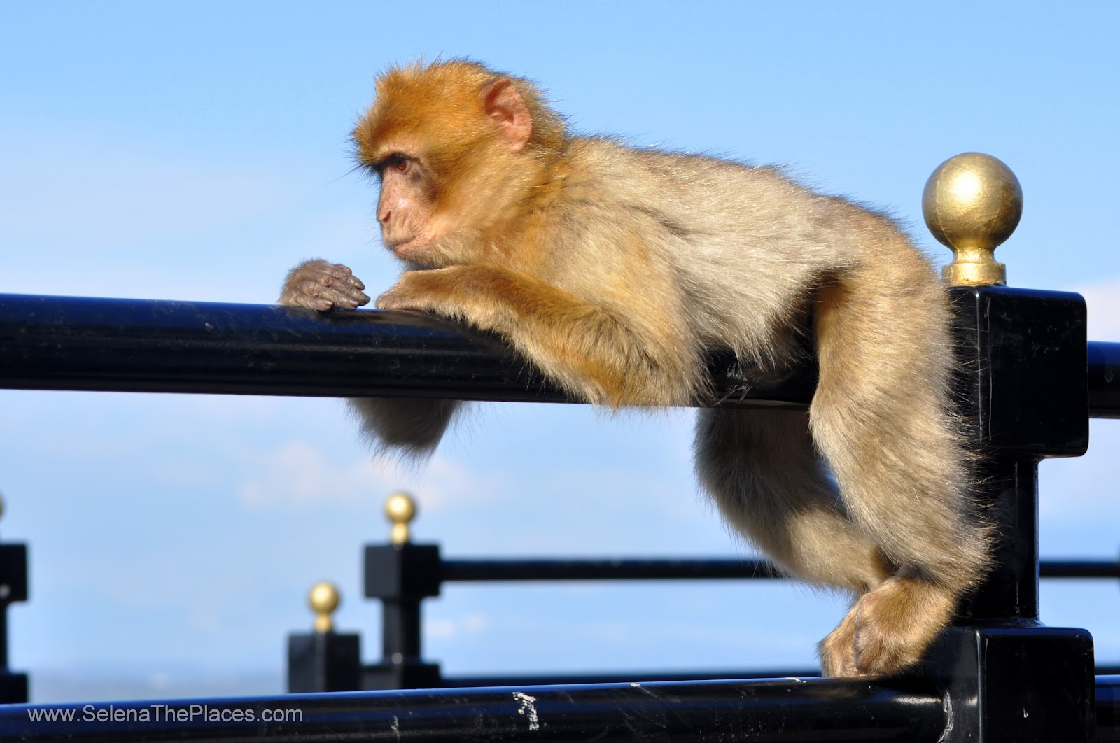 The Macaque Monkeys of Gibraltar