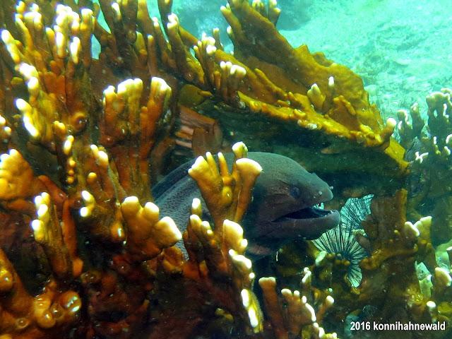 giant moray, tropical sea, scuba diving,