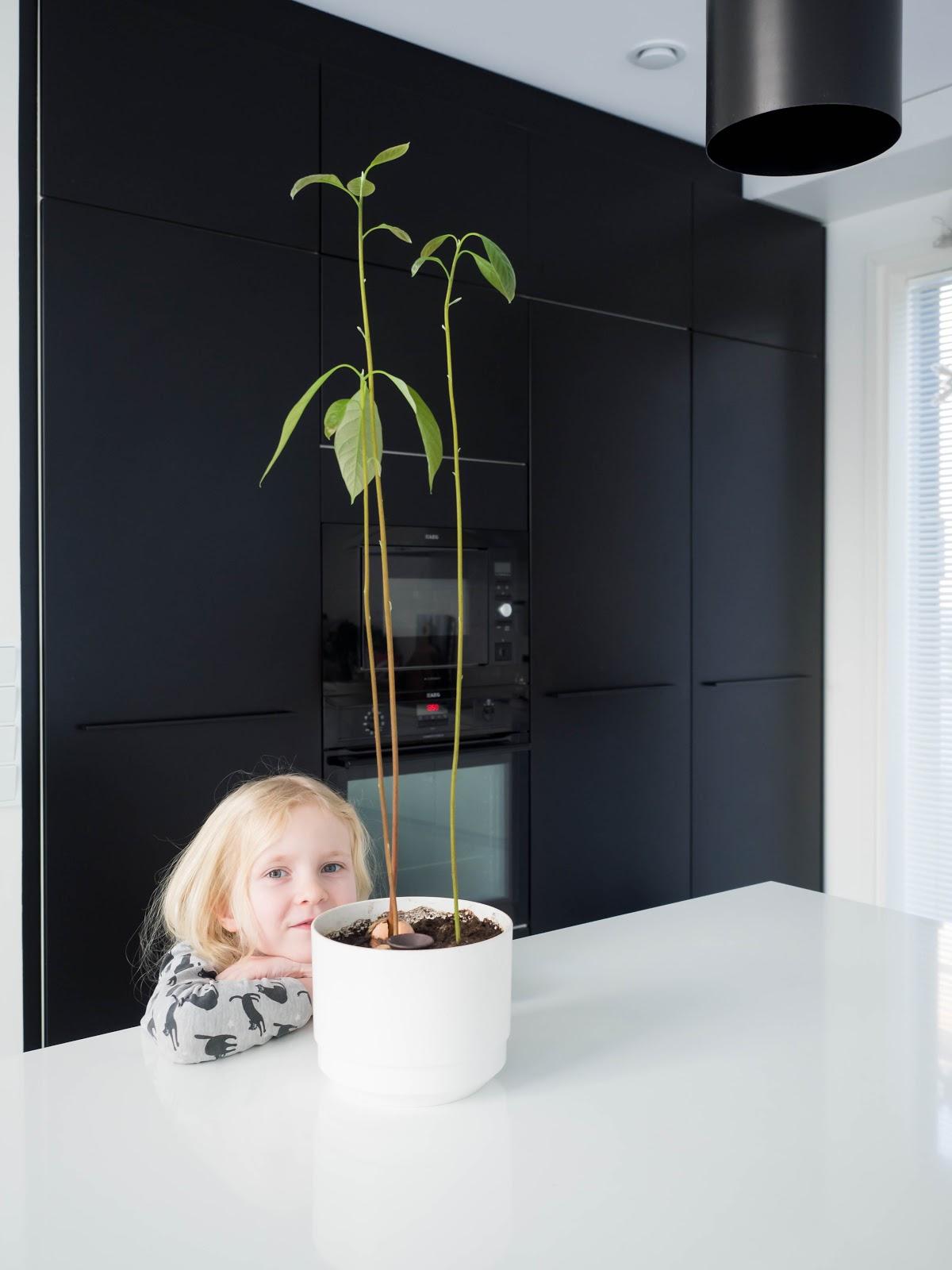 Siemenestä kasvatettu avokado