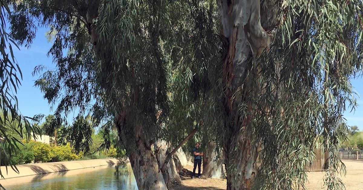 History Adventuring: The Eucalyptus Trees Of Phoenix, Arizona