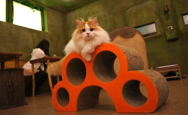 tokyo turkish van cat