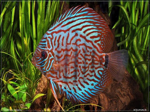 Dunia Ikan Hias - DISCUS CHECKER BOARD PIGOEN