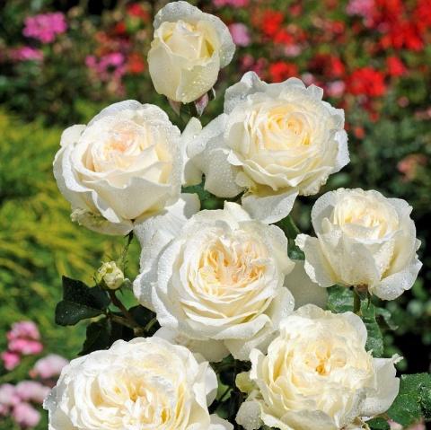 Irina rose