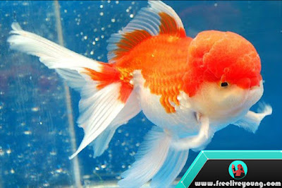 How to take care of a fish Koki Goldfish