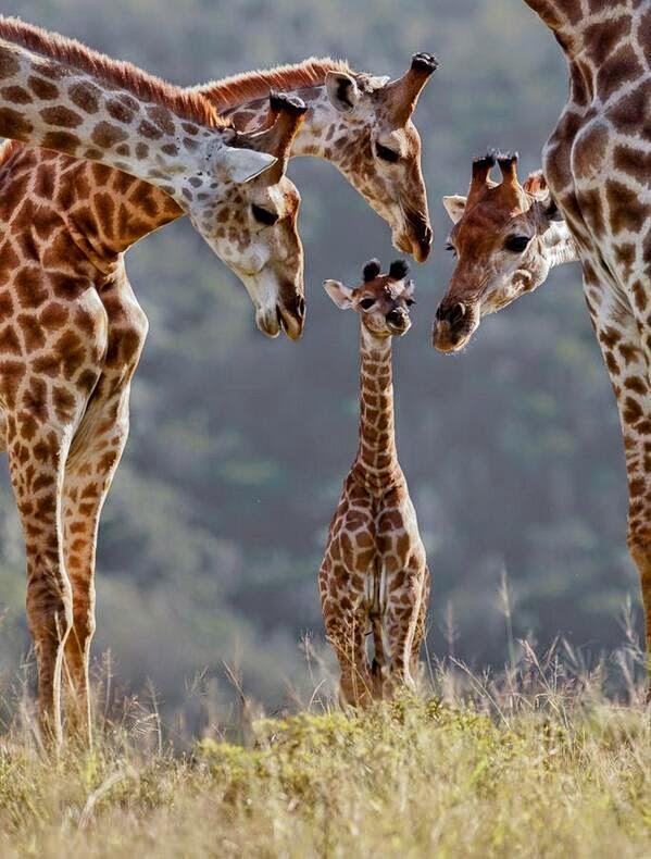 Funny baby giraffe meets family