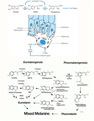 Pheomelanin and-Eumelanin