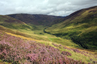 Purple Heather in the Scottish Highlands