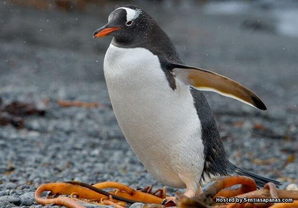 Penguin Gentoo (Pygoscelis Papua)