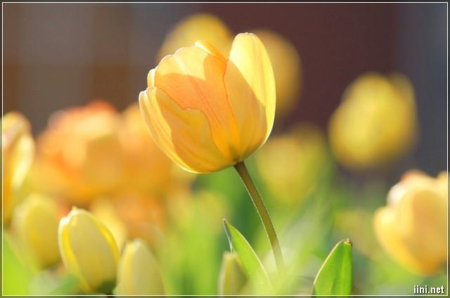 ảnh hoa Tulip đẹp