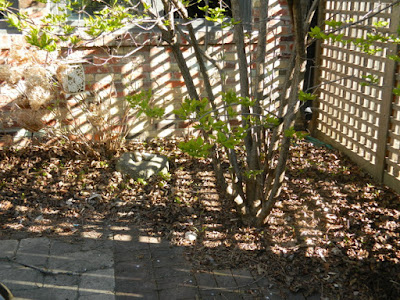 Roncesvalles Toronto spring garden cleanup before by Paul Jung Gardening Services