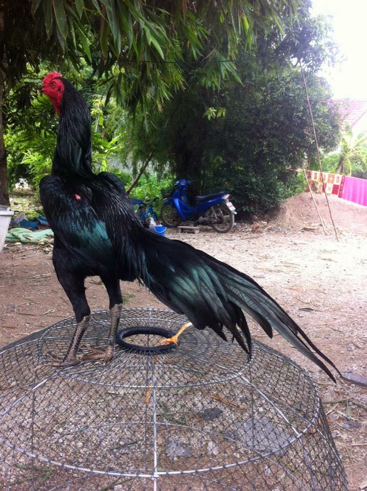 Ketahuilah Macam-Macam Rawis Pada Ayam Aduan