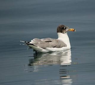 Pallas's gull - Ichthyaetus ichthyaetus
