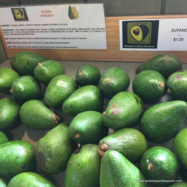 Zutano avocados at Morro Creek Ranch in Morro Bay, California